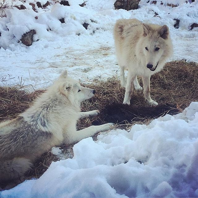 Wolf pup brothers Grayson and Axel share a beaver for lunch. #wolf #minnesota #family #peace #errol #winter #stackesleeper