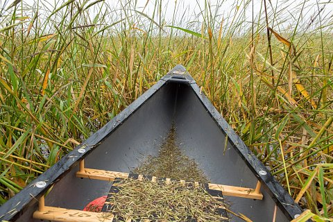 """Wild rice cultivation, or """"ricing"""" on Rice Lake in northern Minnesota. <br>September 14, 2017."""