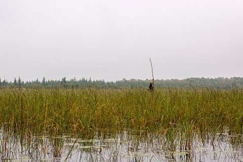 """Alan Lajeunesse Jr. from Red Lake Nation uses a push pole to move his canoe through shallow water and rice while """"ricing"""" on Rice Lake in northern Minnesota. <br>September 14, 2017."""