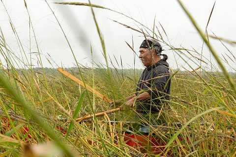 Darrell Geshick, an Ojibwe and member of Red Lake Nation in northern Minnesota, uses sticks called knockers to knock wild rice from the plant into the canoe. <br>September 14, 2017.