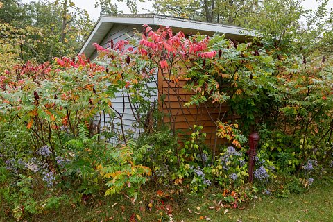 Sumac grows in the yard of Victoria Iron Graves. Sumac berries are used to make tea that tastes like lemonade. <br>September 15, 2017.