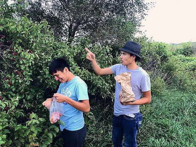 Danny and Joe picking wild plums in Lower Brule, SD. #wildplums #lowerbrule #lakota #southdakota #forcedgeographies